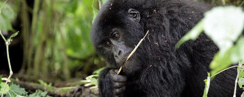 """Sammelaktion """"Ein Handy für den Gorilla"""""""